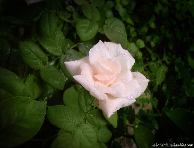 http://rahefarda.persiangig.com/Rose--rahefarda.mihanblog.c.jpg